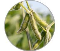 2019_Circle_Template_200x170px Soybean .png