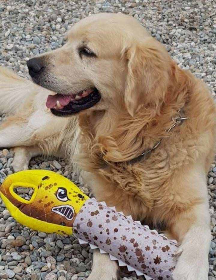 Golden retriever playing with plush chew toy made with Kevlar® from Petco®
